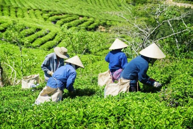 Farmers working at the tea plantation in Japan