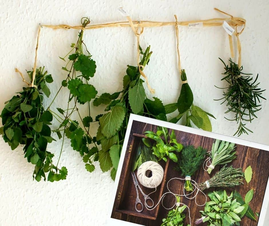 hanging the bunches up to dry